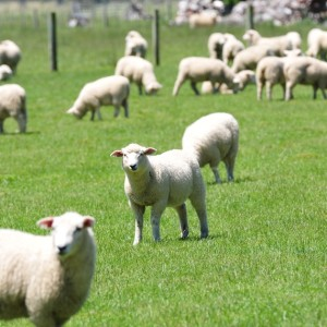 Successful early weaning of lambs, with Professor Paul Kenyon, Massey University