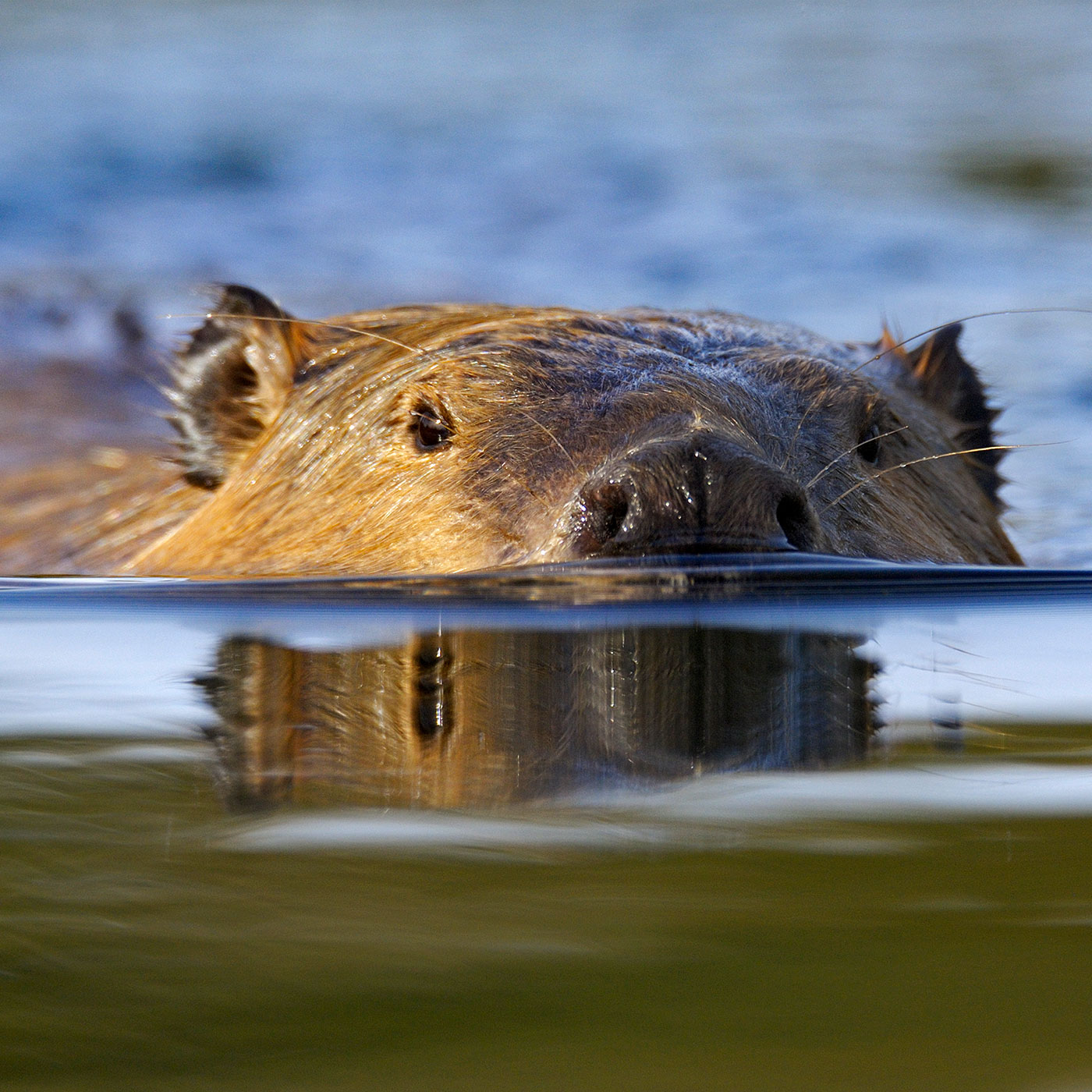 The Gnawing Question of Saltwater Beavers