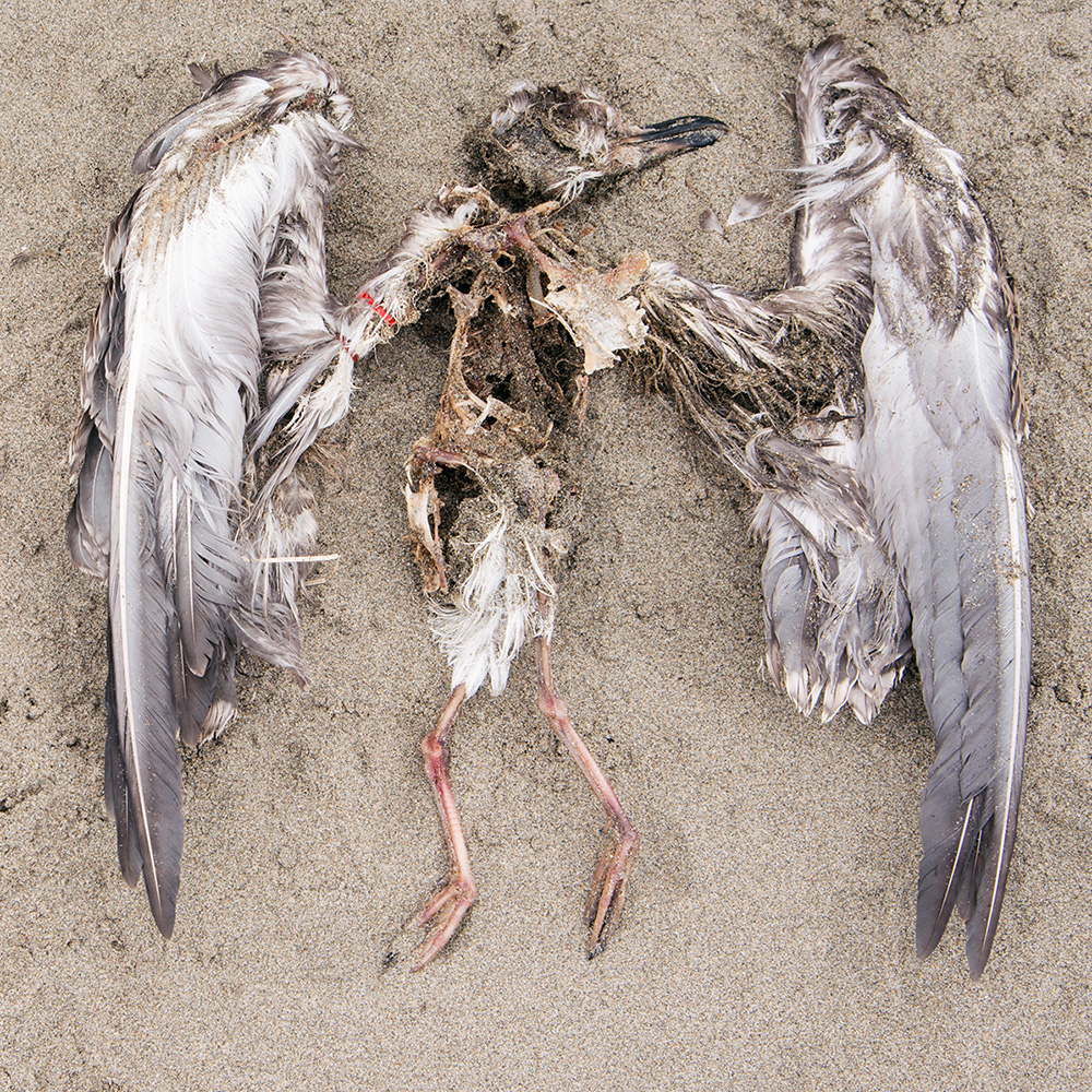 Drawing Meaning from Death, One Seabird at a Time