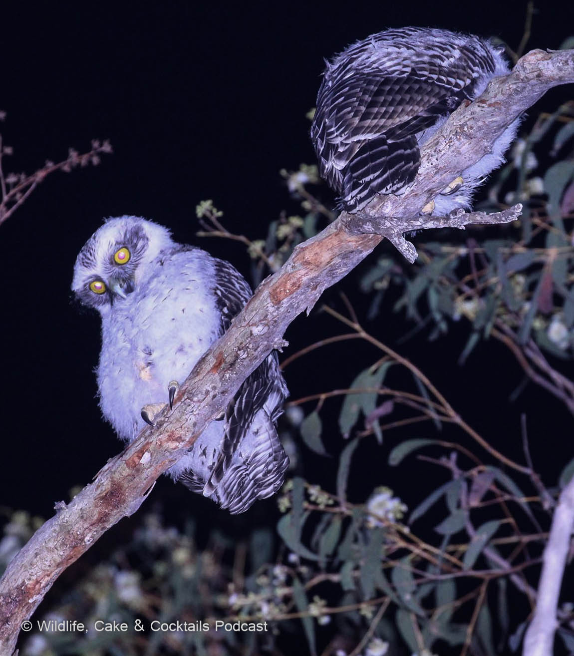 WCC Ep.36. Brisbane Powerful Owls with Faunagraphic