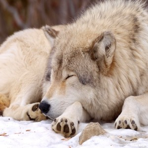 Episode 110: Wolves and the Endangered Species Act w/Corbin Maxey