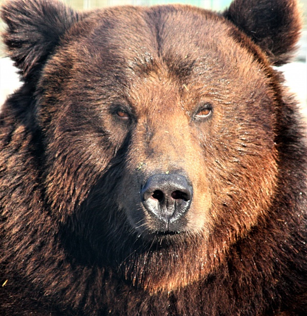 Episode 88: Our Grand Episode on Grizzly Bears