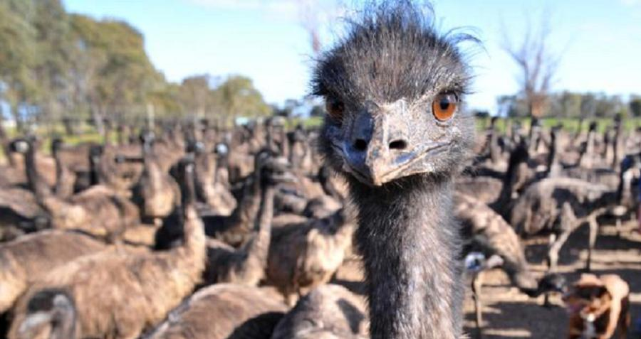 Ep 34 The Great Emu War: Australian History