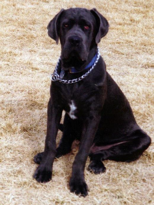 Shadrach the Neo Mastiff…Nuthin' But the Dog in Him!