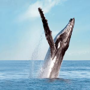 Pacific Whale Foundation's Whale  Festival