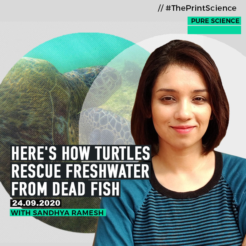PureScience: How scavenging by turtles rescue river waters that are becoming toxic from masses of dead fish