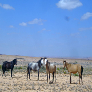 Horse Slayings: Is there an American