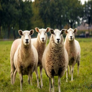 Shepherding Your Group During COVID-19