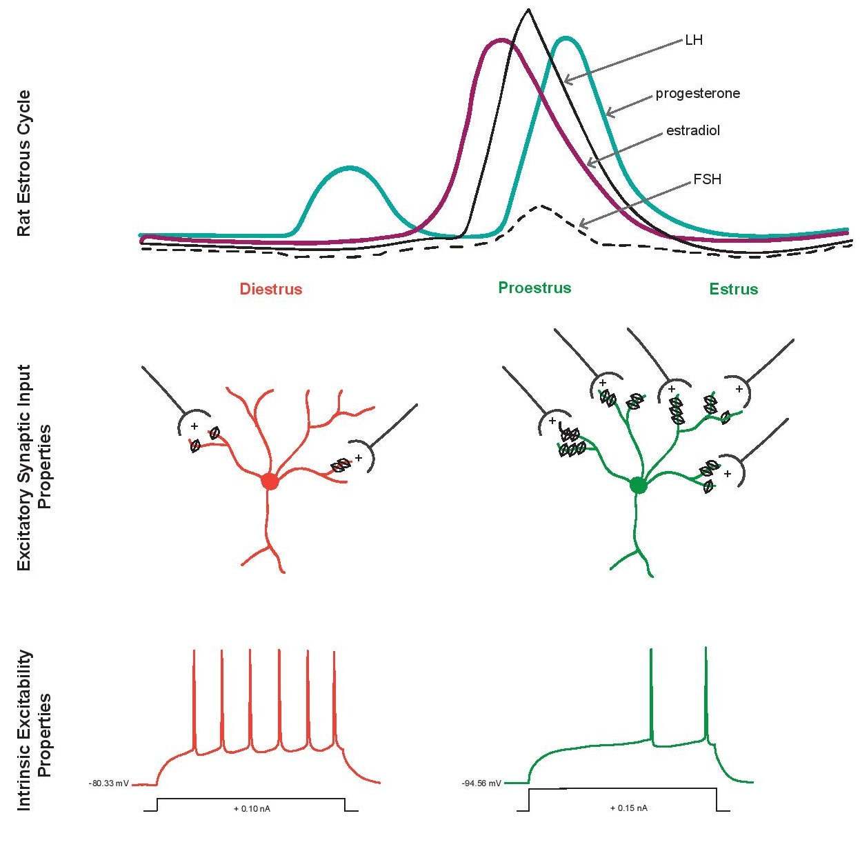 Effects of the estrous cycle on neural properties in the nucleus accumbens core